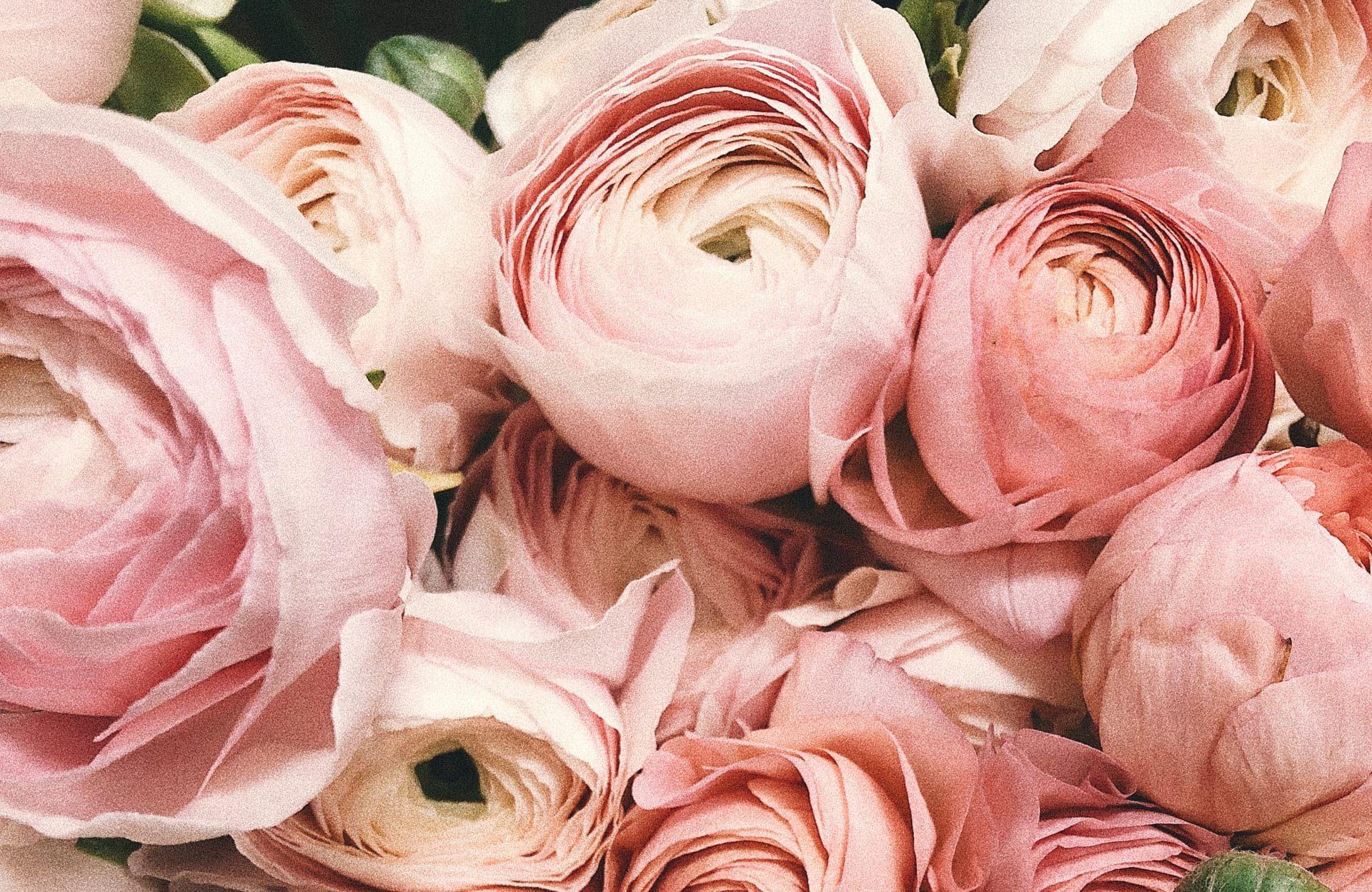 pink flower Ranunculus